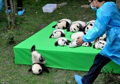A giant panda cub falls from the stage while 23 giant pandas born this year were on a disp...