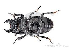 Image result for japanese stag beetle
