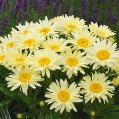 A prolific Shasta Daisy, 'Banana Cream' features bright, lemon-yellow blooms that turn butter yellow. Cedar Garden, Sun Garden, Garden Soil, Garden Plants, Summer Flowers, Cut Flowers, Yellow Flowers, Colorful Flowers, Plant Delivery