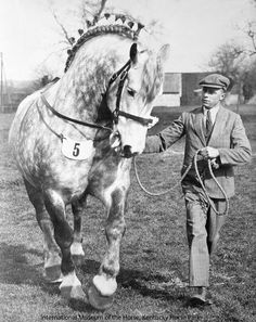 March Viking was one of the greatest Percheron stallions of the 1930s. He was foaled in England in 1929, and was bred and shown by H. H. Truman of March, Cambridgeshire. Prior to his importation to the U.S., he took first prize and was champion of the British Percheron Society's Stallion Shows in 1935, 1936 and 1937. Photo from Fbook page International Museum of the Horse (thank you!)