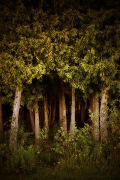 Tree Print - Deep in the Woods 8x12 Fine Art Photograph woods forest green leaves woodland fresh nature