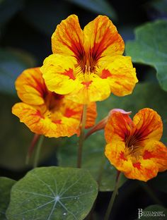 Nasturtium-pretty bloom you can throw in a salad