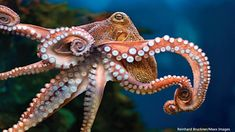 The highly flexible arm, or tentacle, of the octopus has inspired engineers to develop a robotic arm to help doctors perform minimally invasive surgery. Octopus Squid, Octopus Tentacles, Octopus Art, Octopus Photos, Octopus Images, Octopus Photography, Animal Photography, Plural Of Octopus, Teacher Images