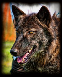 Beautiful Dharma.....Dharma was one of nine pups born at the New York State Zoo, in Watertown New York in 2010. She and three of her siblings were brought to Wolf Park in Battle Ground, IN to be socialized. The other pups moved elsewhere and Dharma remained to join the main pack.