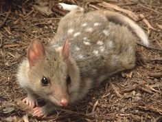The quoll is a carnivorous marsupial native to mainland Australia, New Guinea, and Tasmania. It is primarily nocturnal and spends most of the day in its den. Of the six species of quoll, four are found in Australia and two in New Guinea.