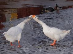 Love of geese is fore ever ♡♡♡