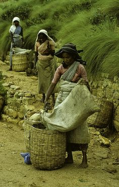 Women collecting tea leaves - Sri Lanka. #VisitSriLanka