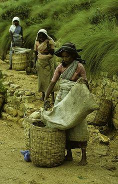 Women collecting tea leaves - Sri Lanka