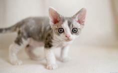Devon Rex Kitten by Peter Hasselbom. I die.