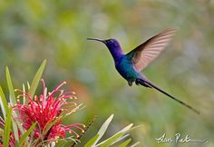 3167_Swallow-tailed Hummingbird_Eupetomena macroura_Porto Seguro, Bahia, Brazil_20081227_2_1024.jpg (600×412)