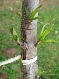 Σε ποια δέντρα κεντρώνουμε και τι. Πως και πότε γίνεται Grafting Fruit Trees, Nature Tree, Garden Crafts, Garden Ideas, Curvy Girl Fashion, Bird Feeders, Gardening Tips, Home And Garden, Outdoor Decor