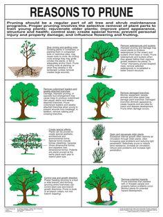 Reasons To Prune.jpg Reasons To Prune. Pruning Plants, Pruning Fruit Trees, Tree Pruning, Trees To Plant, How To Prune Trees, Grafting Plants, Garden Trees, Lawn And Garden, Fruit Garden