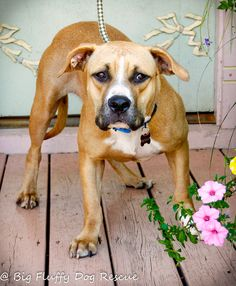 Bethany is an adoptable Dog - Boxer Mix searching for a forever family near East Windsor, CT. Use Petfinder to find adoptable pets in your area.