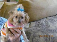 Tara-Darling!: Yorkshire Terrier Yorkie, Dog; Alpharetta, GA