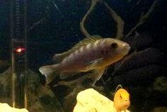 Articolo sui ciclidi Africani del Malawi Labidochromis hongi Red Top