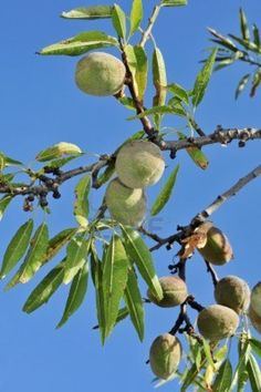 Almond Tree with Fruit