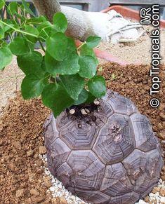 Dioscorea elephantipes, Dioscorea macrostachya, Dioscorea mexicana, Testudinaria elephantipes, Elephant foot, Turtle shell, Hottentot-Bread