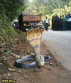 Just a 3 Headed Cobra... thats all (as if a one-headed cobra wasn't bad enough)