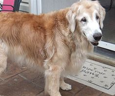 ★3/9/15 STILL LISTED★Love A Golden, MO - This is Rosey - 11 yrs. She is an owner surrender due to her owners health. She is spayed, current on vaccinations, potty trained, has good house manners, good with dogs. She has bad hips and sometimes has a difficult time getting up. She is on meds for her hips. Love A Golden, MO. - http://www.loveagolden.com/Rosey.htm