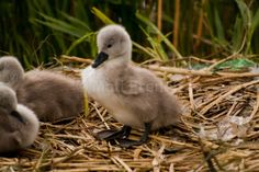 Princeling - Fine Art Photographic Print, Baby Swans, Cygnet Picture, Fluffy Ducks, Irish Nature photography, Photo Print on Glossy Paper Baby Swan, Giving Up On Life, Beautiful Swan, Ugly Duckling, Swans, Photographic Prints, Ducks, Irish, Nature Photography