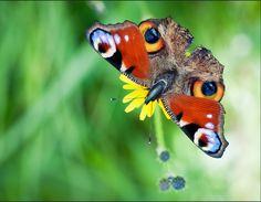 Butterfowl #hybrid #animal #weird