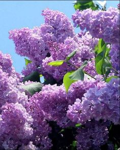 Lilac bushes - My site Lilac Tree, Lilac Flowers, Purple Lilac, Spring Flowers, Beautiful Flowers, Lilac Bushes, Belle Photo, Beautiful Gardens, Garden Plants