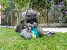 Oscar my Miniature Schnauzer puppy
