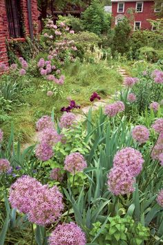 Replace Your Lawn with Grass Alternatives—Pink flowers adorn an urban meadow garden injected with ornamental onion (Allium giganteum Globemaster).