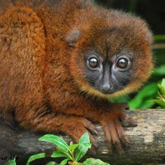 """RED BELLIED LEMUR....lives in Madagascar's eastern rainforests at middle to high altitudes....weigh 4.4 – 5.3 pounds....measures 13.4 to 15.7 inches long (excluding tail)....distinguished by patches of white skin below the eyes giving rise to a """"teardrop"""" effect"""