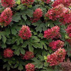 hydrangea-quercifolia-ruby-slippers-0001