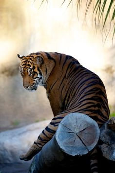 #Tiger #resting#amazinglybeautiful