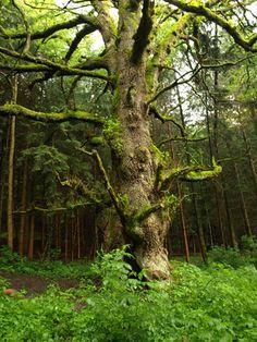 Chêne Géant du Morimont - #Alsace