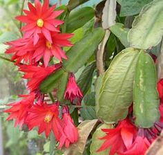Easter Cactus: How it Differs from Christmas Cactus on http://www.hortmag.com