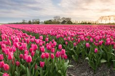 The striking colors of the flowering tulip bulbs are a typical sight in Holland during the spring. The bright red, pink and yellow colors are overwhelmingly beautiful and are a must see.