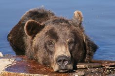 Grizzly Bear | Grizzly Bear In Water Photograph - Grizzly Bear In Water Fine Art ...