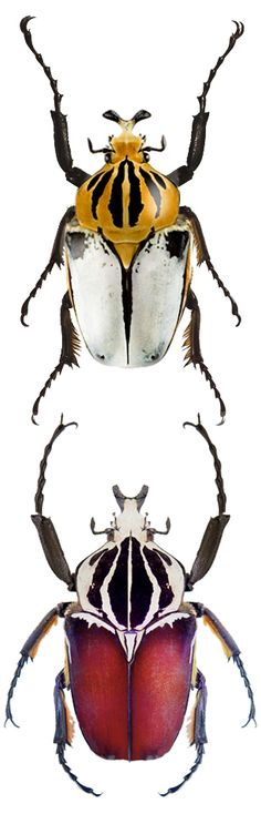 Goliathus cacicus e Goliathus gigantheus Beetle Insect, Beetle Bug, Insect Art, Weird Insects, Bugs And Insects, Mantis Religiosa, Insect Photos, Instalation Art, Cool Bugs