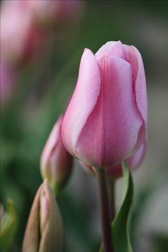 #tulip #flowers #Beautiful #spring