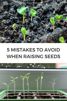 Have you tried raising seeds but they failed to germinate successfully? Discover these 5 common mistakes so you can grow healthy plants without the frustration. Dig in! | The Micro Gardener