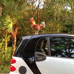 Instagram photo by @nancypants0607 #smartcar #fortwo #rooster