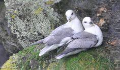 Fulmars at Port Gaverne