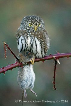 Thats a big mouse or a very small owl Animals And Pets, Funny Animals, Cute Animals, Beautiful Owl, Animals Beautiful, Owl Bird, Pet Birds, Rapace Diurne, Photo Animaliere