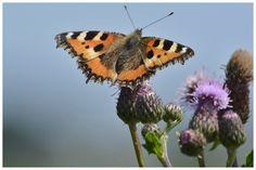 Door bewust natuurlijk te tuinieren hebben wij gelukkig veel vlinders en insecten in de tuin. Geen chemische producten, maar natuurlijk tuinieren.
