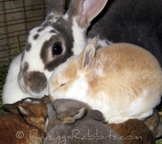 Raising Rabbits...The Site with Detailed Rabbit Information and How-To Instructions