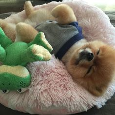 Marvelous Pomeranian Does Your Dog Measure Up and Does It Matter Characteristics. All About Pomeranian Does Your Dog Measure Up and Does It Matter Characteristics. Pomeranian Breed, Cute Pomeranian, Pomeranians, Cute Puppies, Cute Dogs, Dogs And Puppies, Doggies, Cute Baby Animals, Funny Animals