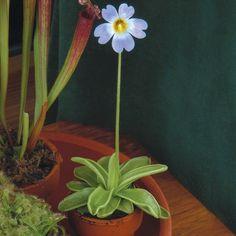 Butterwort (Pinguicula primuliflora) - Rare & Unusual Plants