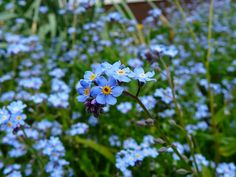 Vergissmeinnicht - which means Forget-me-not in German - beautiful blue flowers in any language! Spring is here!