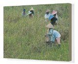Canvas Print of Women picking rice, Serian, Sarawak, Malaysian Borneo, Malaysia, Southeast from Robert Harding Reviews - http://malaysiamegatravel.com/canvas-print-of-women-picking-rice-serian-sarawak-malaysian-borneo-malaysia-southeast-from-robert-harding-reviews/