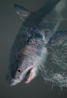 The great white shark!