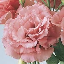 Lisianthus Rose