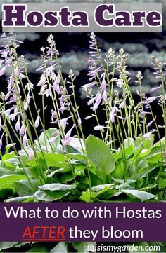 - Hosta Care – How To Keep Hostas Looking Great After They Bloom! How to keep your hosta plants looking great all season long – even after they bloom! Our top tips and tricks to keep your hosta plants beautiful. Hosta Plants, Plants, Garden Care, Planting Flowers, Lawn And Garden, Perennials, Planting Herbs, Hosta Care, Shade Plants